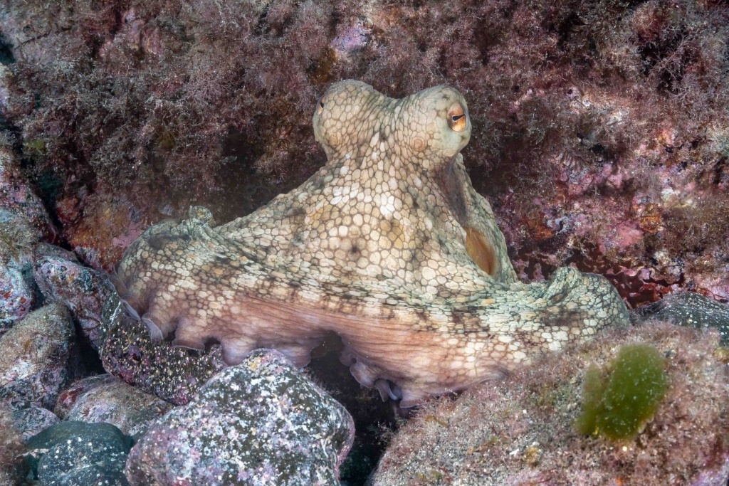 Octopus vulgaris - Pulpo