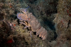 Scyllarides latus - Langosta Canaria 120719DSC01485-3691-Editar
