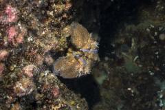 Scyllarides latus - Langosta Canaria 150719DSC01740-3940-Editar