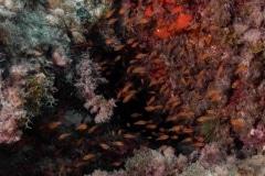 Paracentrotus Lividus - Alfonsito