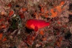 Halocyntia papillosa - Ascidia roja