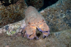 Scyllarides latus - Langosta Canaria 170719DSC01851-4063