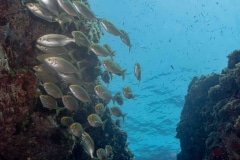 Paisaje marino - Sarpa salpa - Salema