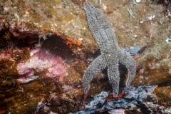 Marthasterias glacialis - Estrella espinosa común