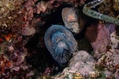 Morena pintada con Murion - Muraenidae