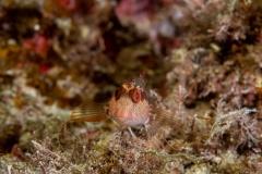 Parablennius pilicornis - Barriguda