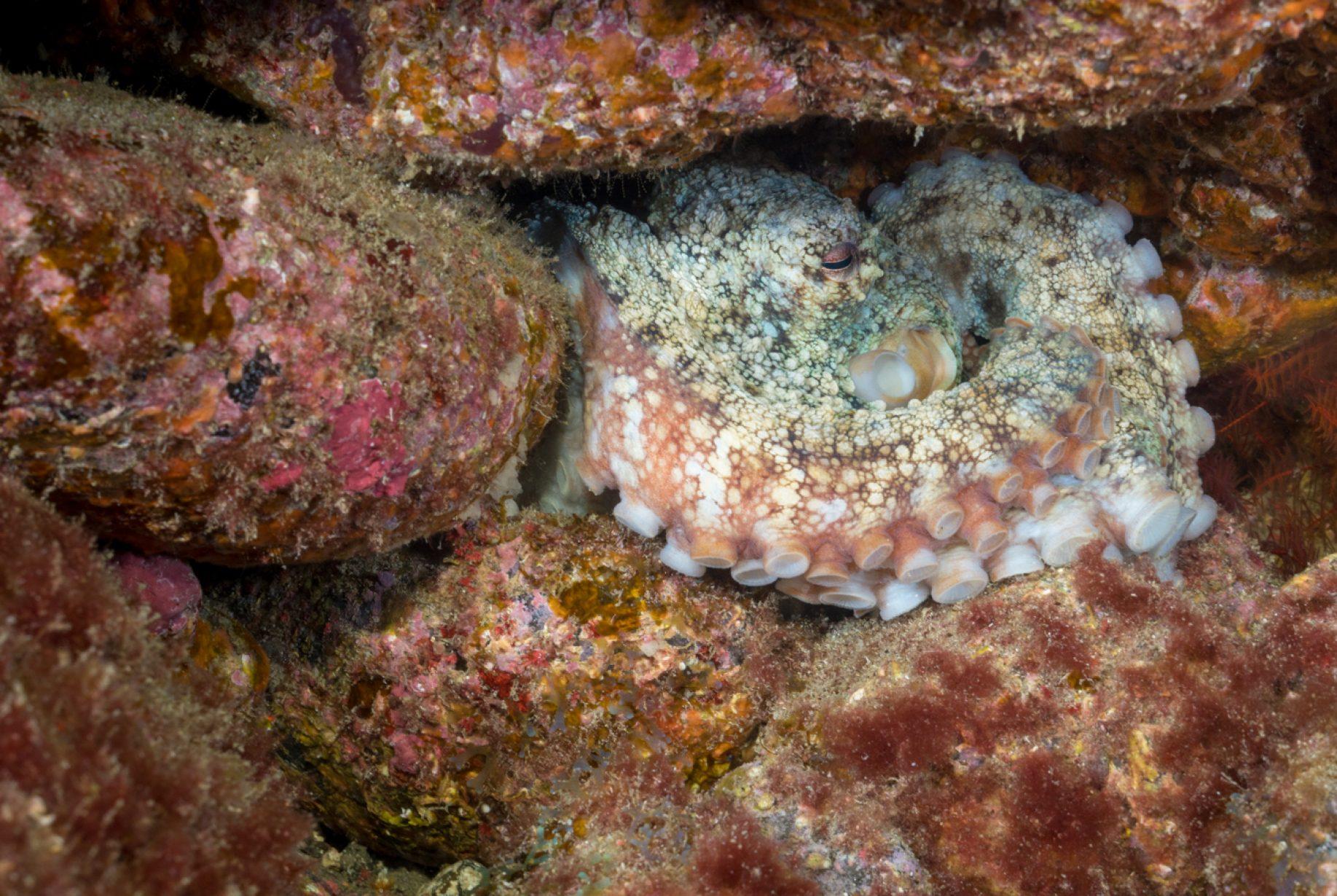 Los octópodos  son un orden de moluscos cefalópodos octopodiformes conocidos comúnmente como pulpos. Al igual que otros cefalópodos, el pulpo es bilateralmente simétrico, con la boca y el pico situados en el punto central de sus ocho extremidades.