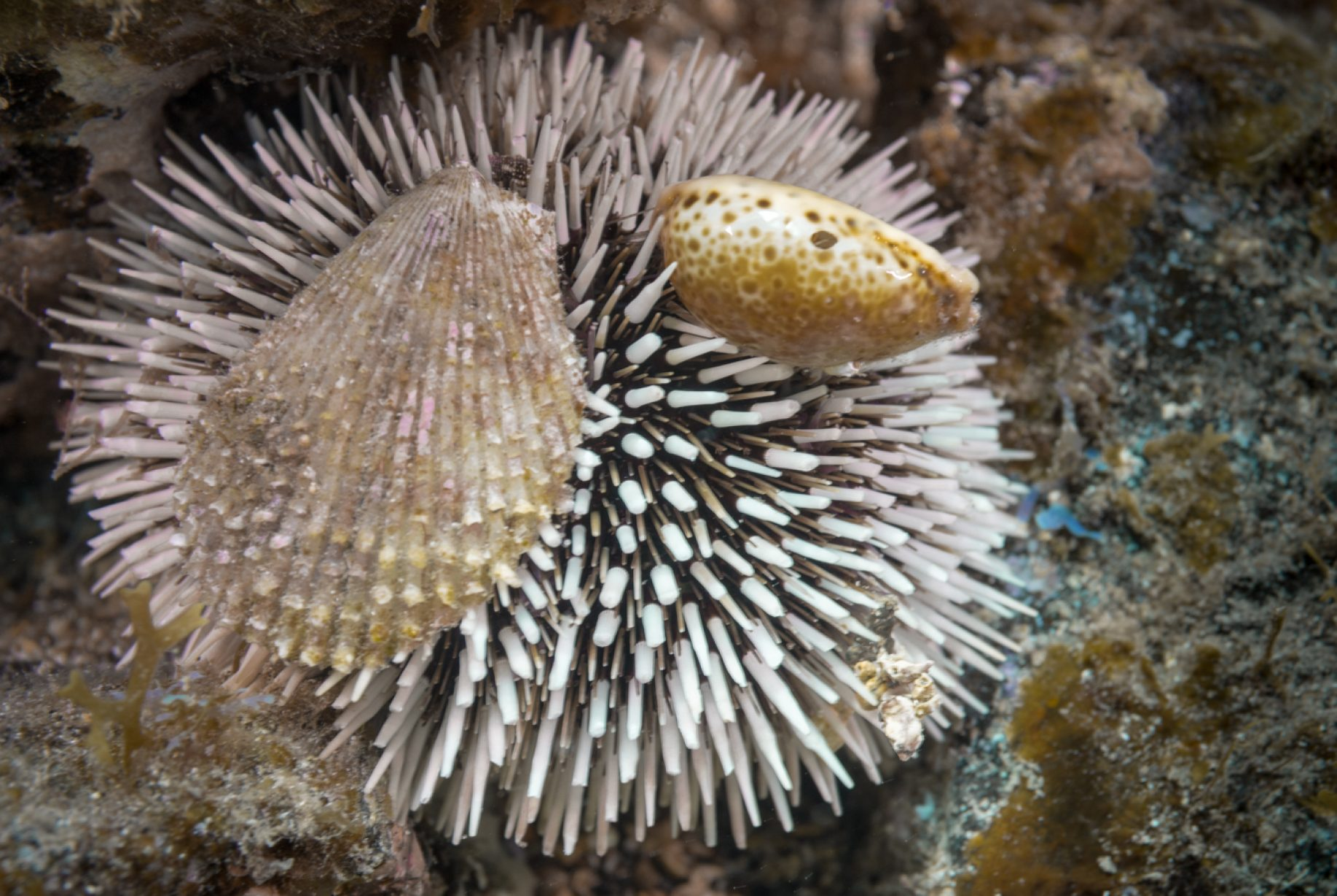 Los equinoideos (Echinoidea), comúnmente conocidos como erizos de mar, son una clase del filo Equinodermos. Son de forma globosa o discoidal (dólares de arena), carecen de brazos y tienen un esqueleto externo, cubierto solo por la epidermis, constituido por numerosas placas calcáreas unidas entre sí rígidamente formando un caparazón, en las que se articulan las púas móviles.