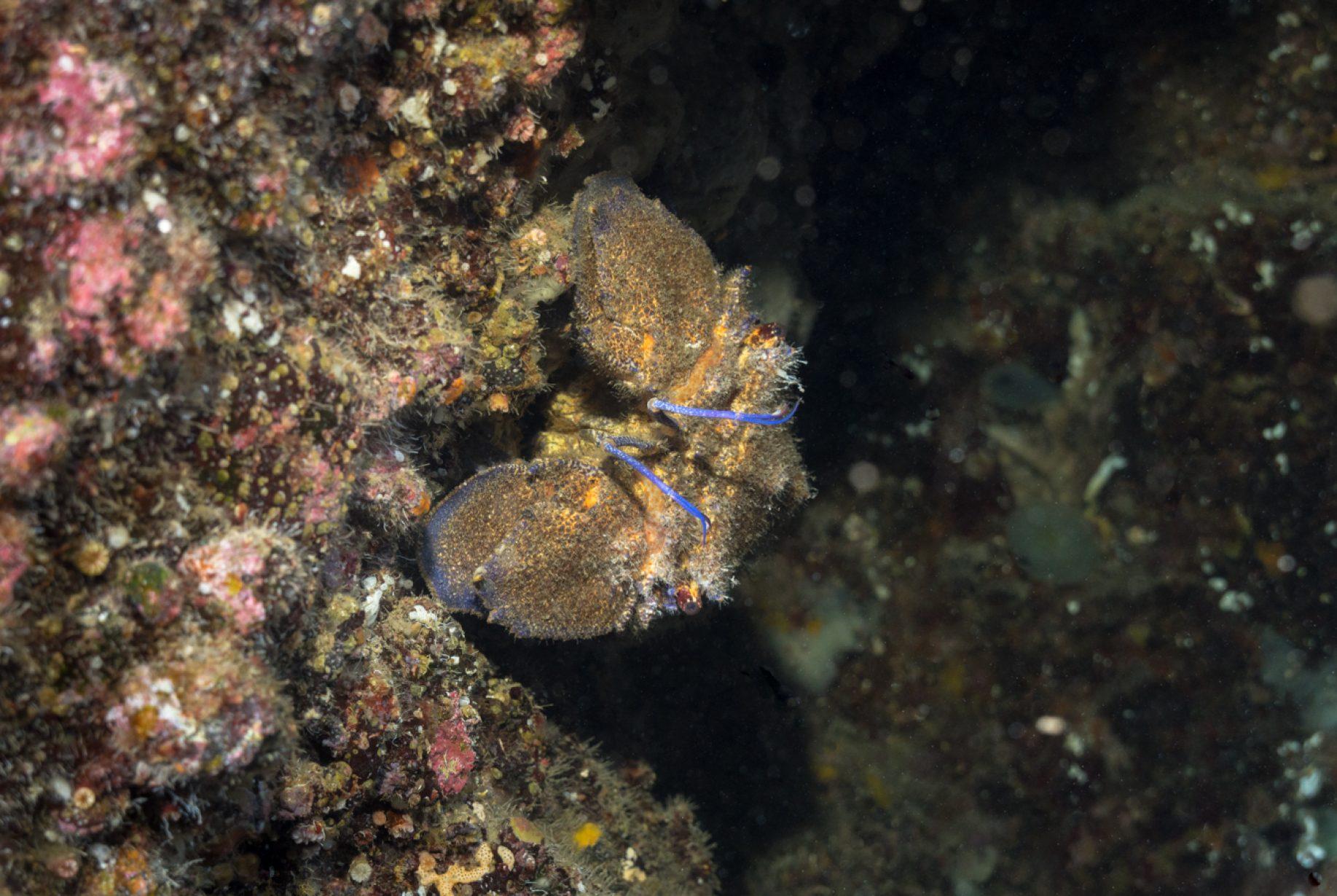 Scyllarides latus, la langosta zapatilla del Mediterráneo, es una especie de langosta zapatilla que se encuentra en el Mar Mediterráneo y en el Océano Atlántico oriental. Es comestible y altamente considerado como alimento, pero ahora es raro en gran parte de su rango debido a la sobrepesca.