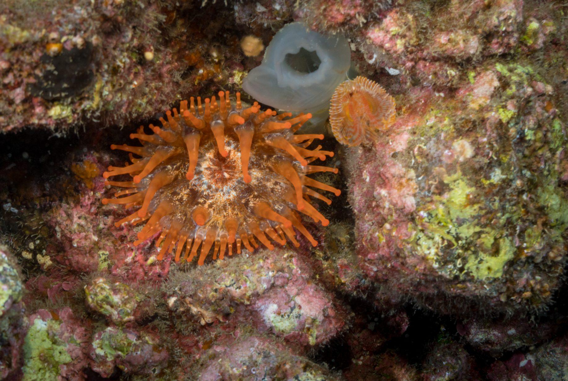 Los actiniarios son un orden de antozoos hexacorales comúnmente denominados anémonas de mar o actinias. Son animales marinos que se adhieren normalmente al sustrato, en algunas ocasiones en la arena del fondo, en otras, en las rocas, y hasta en las conchas de crustáceos o moluscos. El camarón limpiador del Pacífico, también conocido como camarón limpiador del Norte es una especie de camarón de la familia Lysmatidae, orden Decapoda. Es un camarón omnívoro, el cual se alimenta generalmente de parásitos y tejidos muertos. Este camarón limpiador es una parte importante del ecosistema de arrecife.