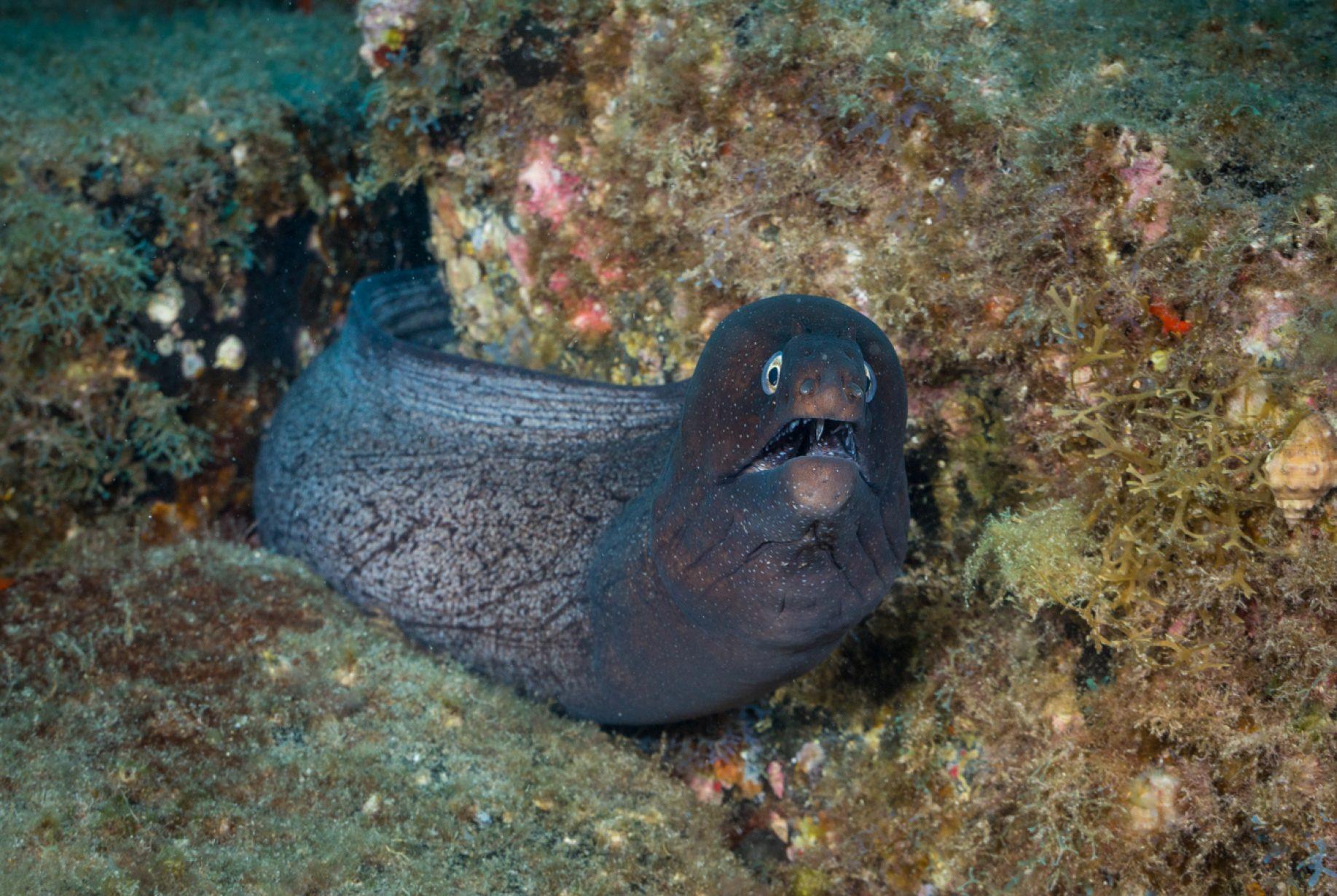 Los murénidos son una familia de peces anguiliformes conocidos vulgarmente como morenas. Habitan aguas tropicales y subtropicales de todo el mundo donde se hallen arrecifes coralinos; permitiéndoles, gracias a su fisonomía serpiforme, acechar a su presa desde las grietas.