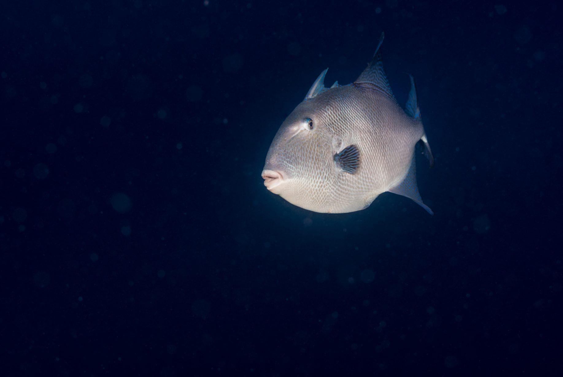 Los pejepuercos, peces ballesta o Balistidae es una familia de peces coloridos. Frecuentemente tienen rayas y manchas y habitan las aguas cálidas costeñas del Océano Atlántico, Mar Mediterráneo, y el Océano Índico-Pacífico.